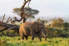 Olifanten van savanne van Amboseli Kenia, Kilimanjaro-berg Stock Foto's