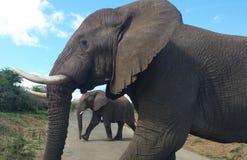 Olifanten in Zuid-Afrika Royalty-vrije Stock Foto