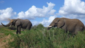Olifanten in Zuidafrikaanse struik Royalty-vrije Stock Fotografie