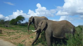 Olifanten in Zuidafrikaanse struik Stock Afbeeldingen