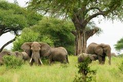Olifantenfamilie, Afrika Stock Foto