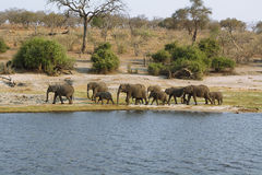 Olifantenfamilie in Chobe riverfront stock fotografie