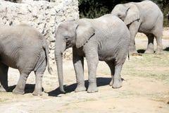 Olifantenfamilie in Dierentuin Stock Foto