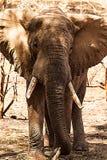 Olifantenportret Stock Foto's