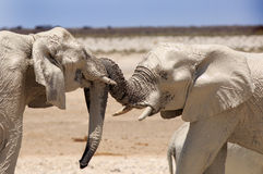 2 olifantenspel het vechten met hun ineengestrengelde boomstammen Royalty-vrije Stock Afbeeldingen