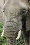 Olifants dicht omhooggaand portret die zijn unieke huid tonen royalty-vrije stock foto's