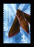 Olifants havik-Mot Deilephila-elpenor, Motten serie, circa 2008 royalty-vrije stock foto