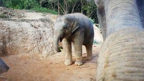 Olifantsbaby bij het voeden door moeder stock fotografie