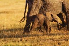 Olifantsbaby na haar moeder Royalty-vrije Stock Afbeelding