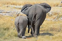 Olifantskoe met africana van baby elephent loxodonta in het Nationale Park van Etosha stock afbeelding