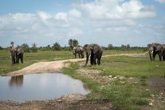 Olifantskudde bij het water geven Stock Afbeeldingen