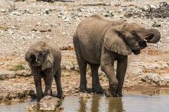 Olifantsmoeder met kind het drinken in etosha nationaal park royalty-vrije stock afbeeldingen
