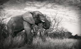 Olifantsolifant die het eten zoeken naar voedselslagtanden stock afbeelding