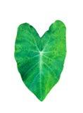 Olifantsoor, Groot Tropisch die blad, Tara Plant, op witte achtergrond wordt geïsoleerd royalty-vrije stock foto's
