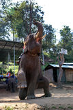 Olifantsprestaties in chiangmai, Thailand Stock Afbeeldingen