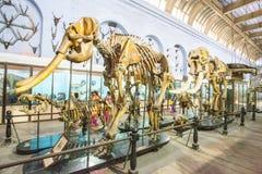 Olifantsskeletten in een museum stock foto's