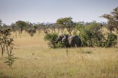 Olifantsstier in Serengeti Royalty-vrije Stock Foto's