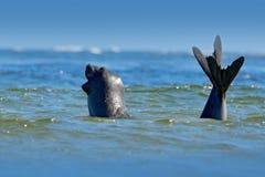 Olifantsverbinding, Mirounga-leonina Verbinding in oceaanwater Groot overzees dier in de aardhabitat in Falkland Islands Olifants stock foto's