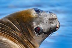 Olifantsverbinding van Falkland Eilanden met open snuit en grote donkere ogen, donkerblauwe overzees op achtergrond Het portret v stock fotografie