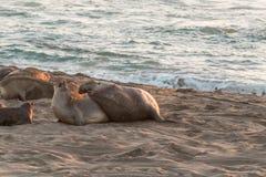 Olifantsverbindingen die op het Strand kweken stock afbeelding