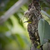 Olijf-gesteund sunbird bouwend zijn nest Royalty-vrije Stock Fotografie