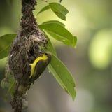 Olijf-gesteund sunbird bouwend zijn nest Royalty-vrije Stock Foto's