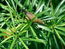 Olijf-gesteund Sunbird op een Tak, Wijfje stock foto's