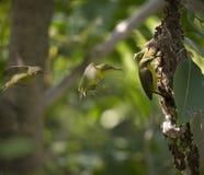 Olijf-gesteund Sunbird wacht op het voeden Stock Fotografie