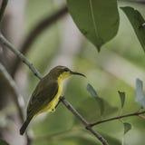 Olijf-gesteunde Sunbird Royalty-vrije Stock Afbeeldingen