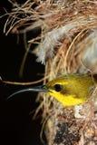 Olijf-gesteunde zon-Vogel Stock Foto's