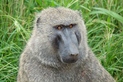 Olijfbaviaan of Anubis-bavianenportret in Oeganda stock afbeelding