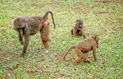 Olijfbaviaan met een ontbrekend been met andere bavianen in Oeganda Stock Fotografie