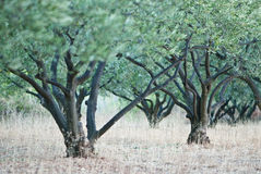 Olijfbomen Stock Afbeelding