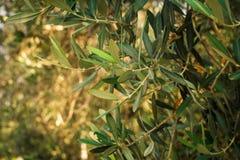 Olijfbomen stock foto