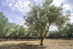Olijfbomen in aanplanting Stock Afbeelding
