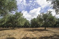 Olijfbomen in aanplanting Stock Foto