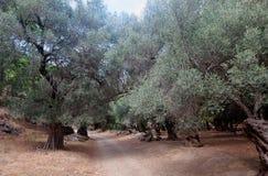 Olijfbomen Agia Irini Gorge Canyon, Kreta, Griekenland Royalty-vrije Stock Foto