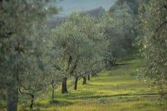 Olijfbomen bij zonsondergang in de winter, Toscanië Italië Stock Fotografie