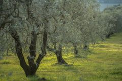 Olijfbomen bij zonsondergang in de winter, Toscanië Italië Royalty-vrije Stock Foto