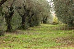 Olijfbomen in de herfst Stock Afbeelding