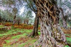 Olijfbomen in de herfst in Valdanos, Ulcinj, Montenegro Stock Foto