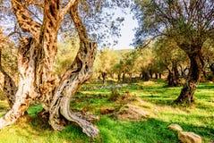 Olijfbomen in de herfst in Valdanos, Ulcinj, Montenegro Stock Afbeeldingen