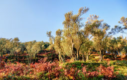 Olijfbomen in de herfst in Valdanos, Ulcinj, Montenegro Royalty-vrije Stock Fotografie