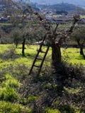 Olijfbomen die in Italië worden gesnoeid en worden verdund Stock Fotografie