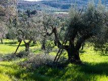 Olijfbomen die in Italië worden gesnoeid en worden verdund Stock Afbeeldingen