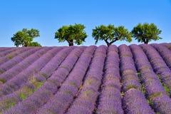 Olijfbomen en lavendelgebieden in de Zomer op Valensole-Plateau Alpes-De-Haute-Provence, Frankrijk royalty-vrije stock fotografie