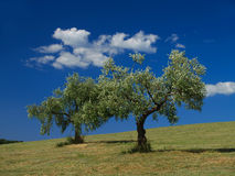 Olijfbomen en wolken Stock Fotografie
