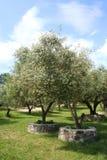 Olijfbomen in het Bosje van de Olijf in volledige zon Royalty-vrije Stock Fotografie