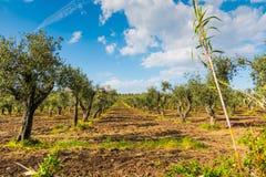 Olijfbomen in het platteland royalty-vrije stock afbeelding