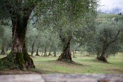 Olijfbomen in Italië Royalty-vrije Stock Afbeelding